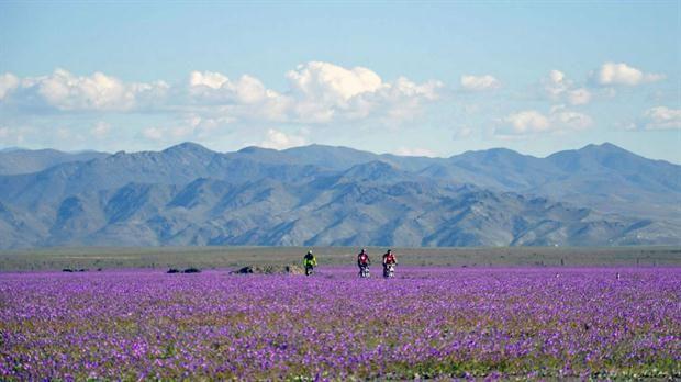 """Un manto de flores multicolores tapiza el desierto de Atacama, en Chile.COPIAPÒ, Chile, Un gigantesco manto de flores multicolores tapiza el desierto de Atacama, el más árido del mundo en el norte de Chile, con una intensidad no vista en varias décadas, un maravilloso efecto del fenómeno de """"El Niño""""."""