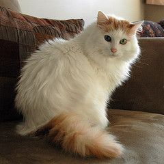 Turkish Van cat...this looks just like my beautiful Sammy!!!