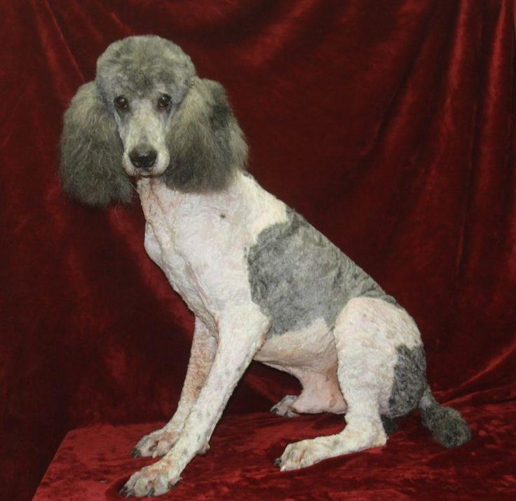 17 Best Images About Poodles On Pinterest Brooches