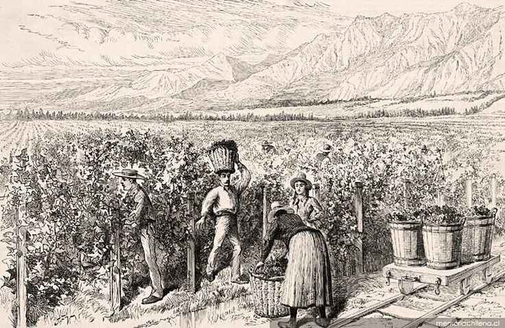Rediscovering Carignan & Chile's Old Vines   Wines of Chile - October 2013 [Pictured: Wine Harvesting in Viña Macul, Santiago de Chile   The Illustrated London News, 1842]