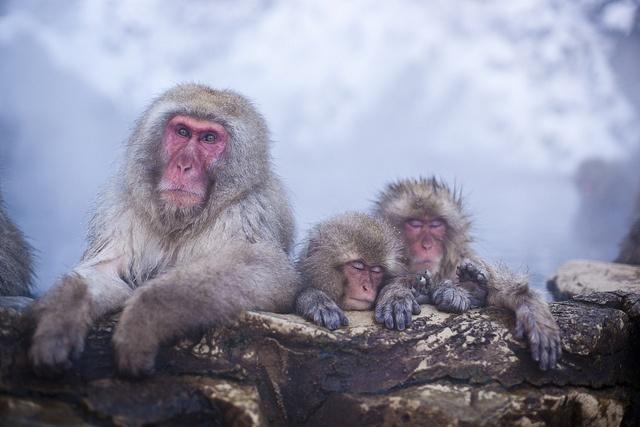 Monkey Family by torode, via Flickr: Adorable Photos, Jigokudani Monkey, Forest, Animals 鳥獣, Hot Springs, Kid