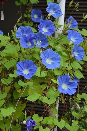 西洋朝顔 ヘブンリーブルー 日本の朝顔よりも長く咲いています。 地植えにすると大株になり、花もよくつきます。