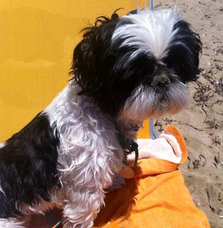 #dog#shih tzu