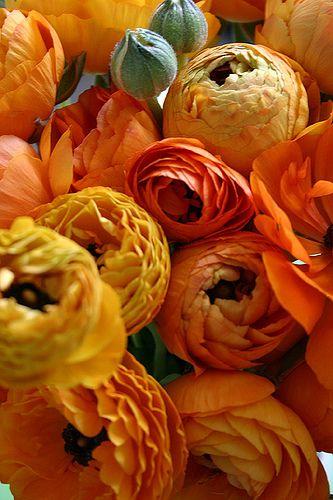 Golden yellow and orange Ranunculs
