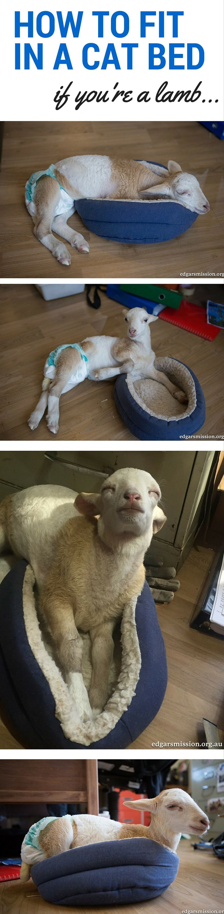 This little lamb is growing fast, but she doesn't let that get in the way of anything. Like squeezing inside this cat bed.