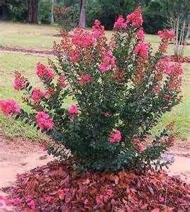 dwarf crepe myrtle bushes - Bing Images