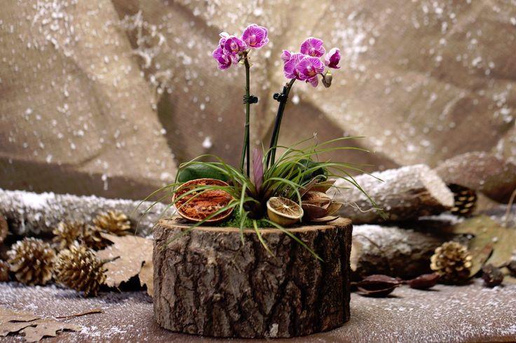 Ürünümüz Doğal kütük içerisinde mini orkide , verezya ve çeşitli aksesuarlar ile hazırlanmıştır.