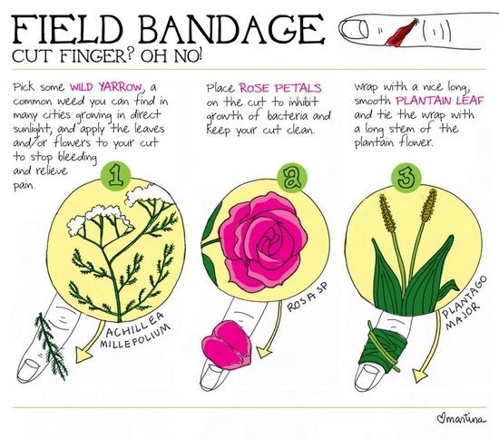 Field BandageCut Finger Homestead Survival=  yarrow..stops bleeding - rose petal..keeps clean, inhibits bacteria - plantain leaf..wrap around tieoff stem.
