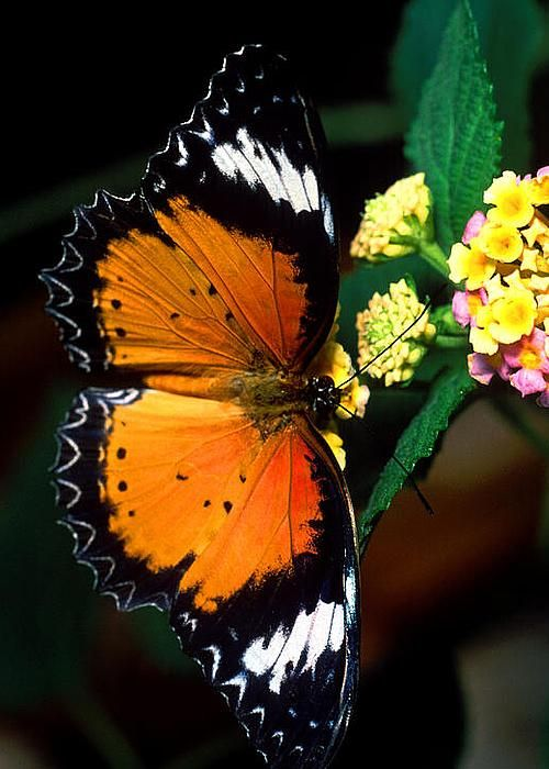 Leopard Lacewing Butterfly By Terry Elniski