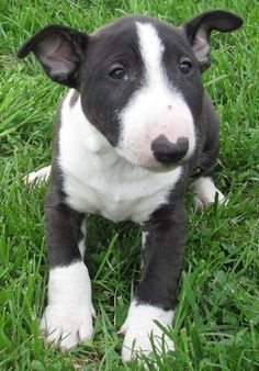Bull Terrier and Miniature Bull Terrier Dog Breed Information and Pictures