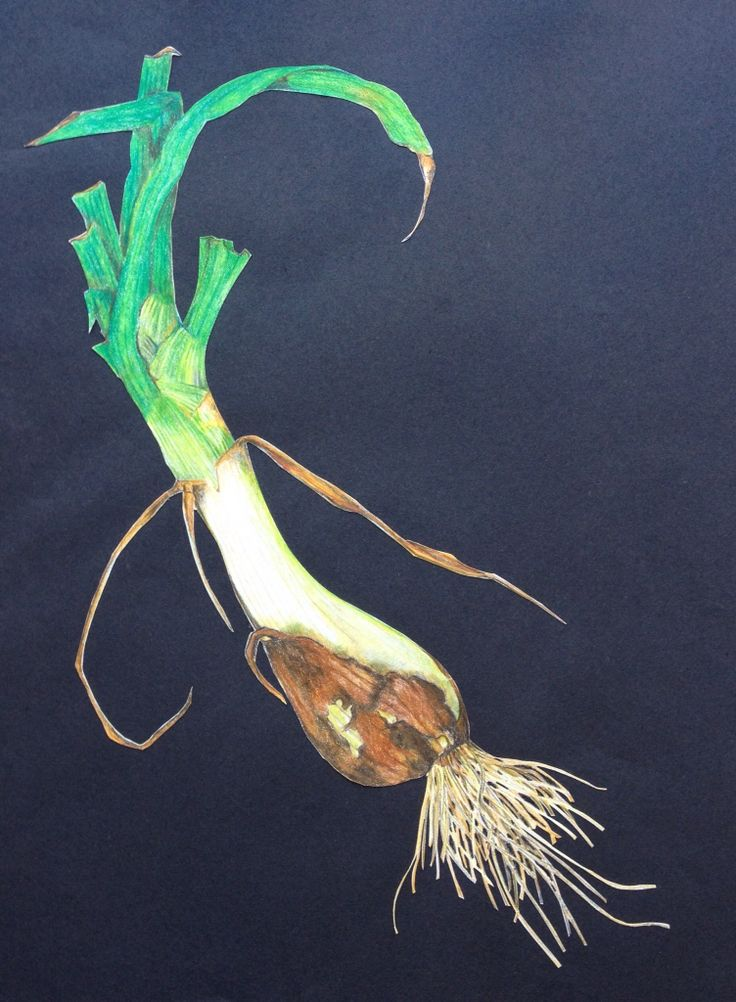 "Spring Onion by Lisa McGregor - home grown, drawn in colored pencils and then eaten. 10""X14"" Coloured pencil art"