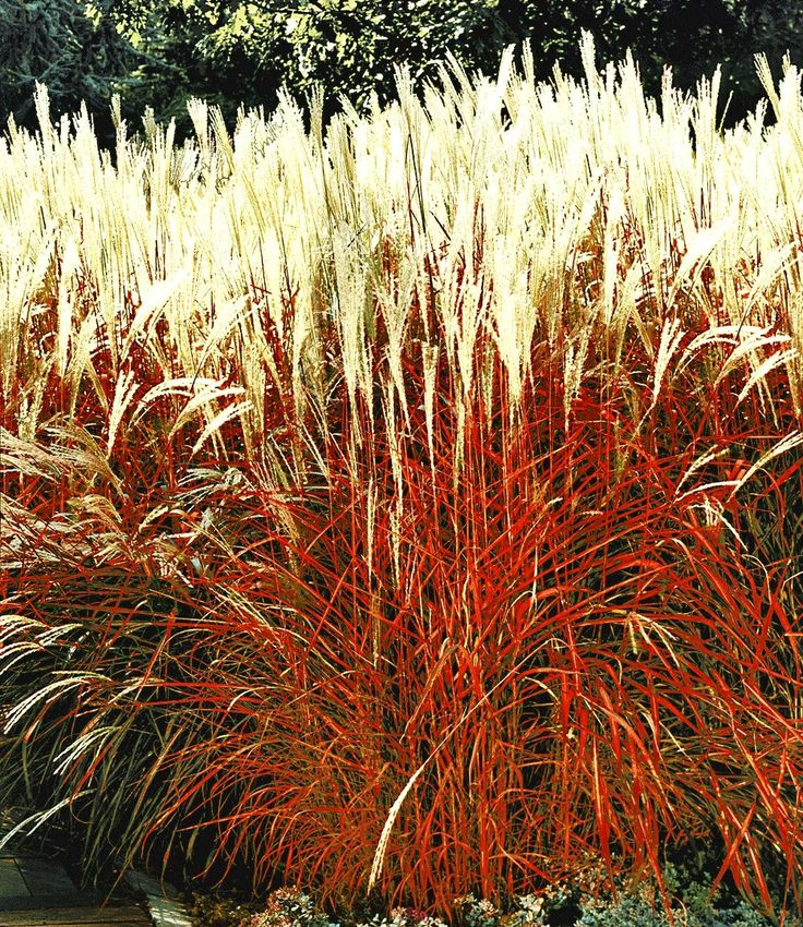 12 best images about tuin winterharde planten on for Red ornamental grass