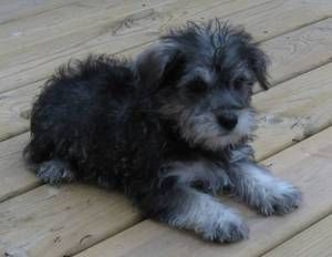 I seriously think I want my next dog to be a schnoodle. (Oh and Matt, they come in big sizes and have cute scruffy faces...) Just saying... ;)