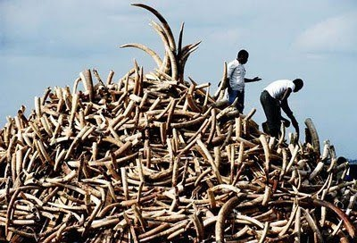 Last year, African conservationists saw the highest level of elephant poaching in more than a decade, and ivory seizures were at their highest recorded levels since 1989 — the year that international trade in elephant ivory was banned.    During 2011, more than 20,000 elephants were slaughtered for an estimated 24,000 kilograms of ivory.  The large shipments, indicate the presence of organized crime.  Africa-based wildlife officials point to Asian-led crime syndicates.