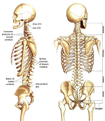 15 Best Omoplates Images On Pinterest Scapula Human Anatomy And