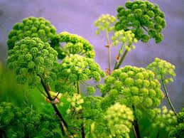 Angelica Archangelica herb