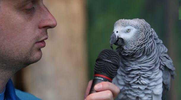 Ο αφρικανικός γκρίζος παπαγάλος είναι μια ιδιοφυΐα (Video)