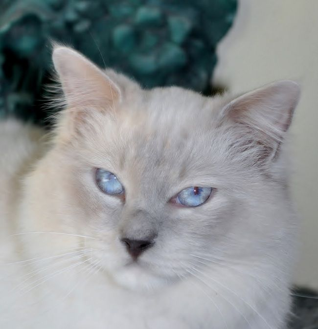 Ragdoll cat breeders western new york