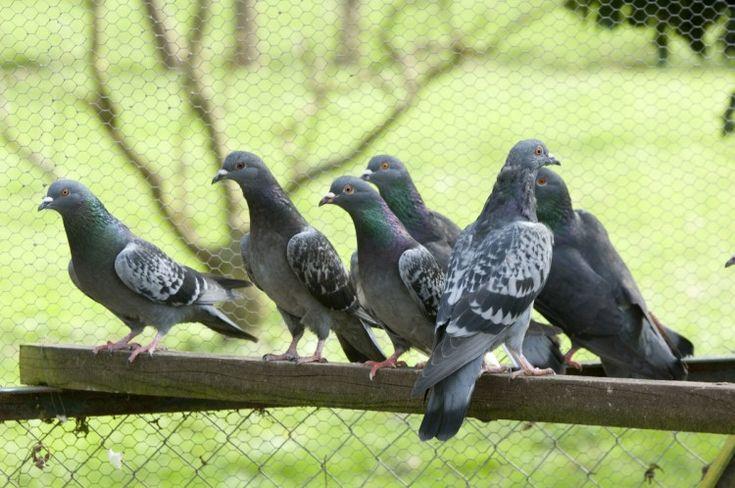 pigeons les m thodes pour s 39 en d barrasser maisons. Black Bedroom Furniture Sets. Home Design Ideas