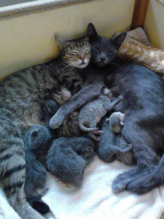 "Two mamas and their babies... ""It takes a village..."": Cats, Kitty Cat, Animals, Kitten, Sweet, Happy Family, Families, Cat Lady"