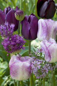 Tulips and Alliums. Plant combination in violet and purple. Photography byModeste Herwig