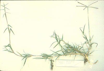 A faj kettős latin neve:Cynodon dactylon Magyar név:csillagpázsit Család:Poaceae Rend:Poales Életforma:G Termés:szem