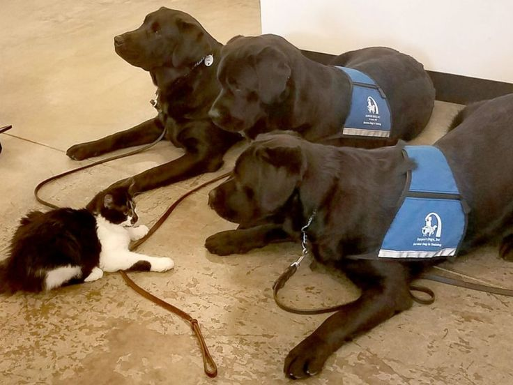 The Amazing Cat Who Trains Service Dogs For The Disabled