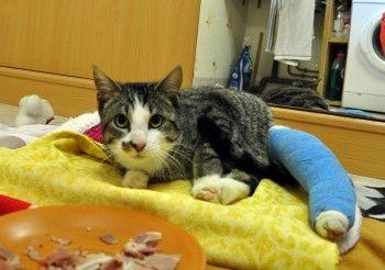 Max, chat polyfracturé, récupéré in extremis a dû être pris en charge très vite ! Merci de l'aide que pourrez apporter à l'association Aspa70.