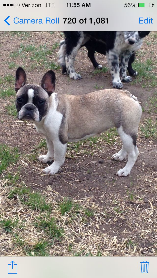 Sable Pied French Bulldog