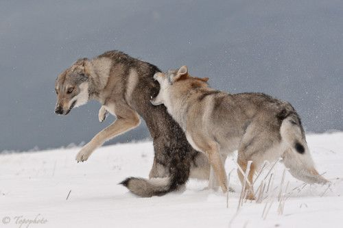 Wolf fight | wolves | Pinterest | Wolves fighting, Wolf ...