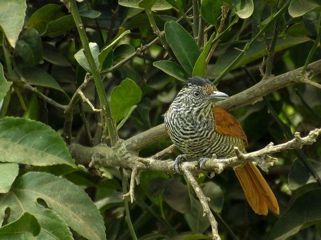 Foto choca-listrada (Thamnophilus palliatus) por Henrique Junior | Wiki Aves - A Enciclopédia das Aves do Brasil