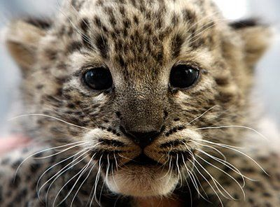 baby leopard: Big Cats, Animal Baby, Snow Leopards, Animal Photo, Baby Snow, Leopards Cubs, Baby Animal, Kittens, Baby Leopards