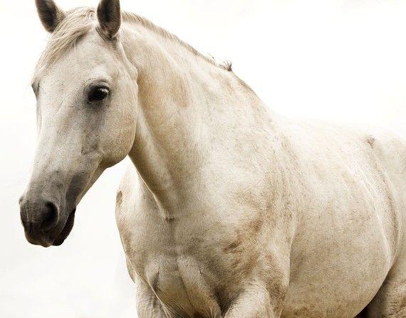 White Horse Photo- White Beauty- 8x10 print- Fine Art- Equestrian Photography $25 USD