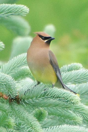 I love this picture.  I love a blue Spruce.... (Cedar Waxwing in Blue Spruce)