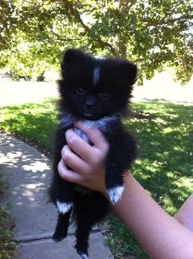 I want this one! AKC Toy Pomeranian