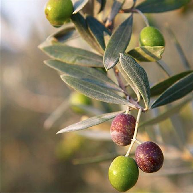 We've arrived in #Greece🇬🇷 known for its #Olive trees; packed with #AntiAging #Antioxidants & #Hydrating #Squalene, making it superb for #Hair & #Skin  #AroundTheWorld #PlanetEarth🌏 #Nature #NaturalBeauty