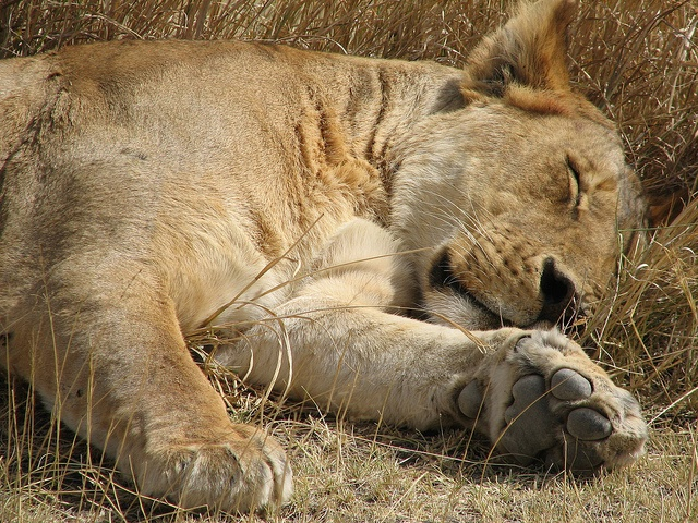 Lioness - resting by Elyon Tours Tanzania Ltd, via Flickr