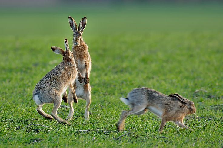 Echte Hasen  Feldhase Hasen Hasenartige Säugetiere Tiere