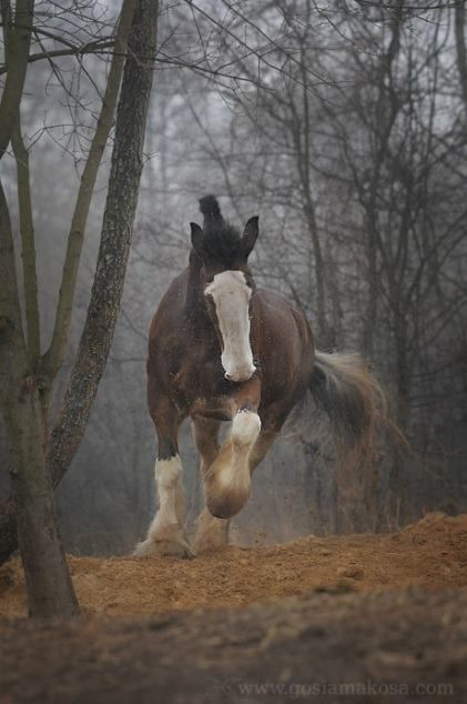 My grandfather has two Clydesdales that have been around forever. Gorgeous horses