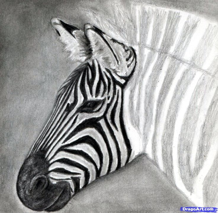 how to draw a zebra, draw a realistic zebra step 13