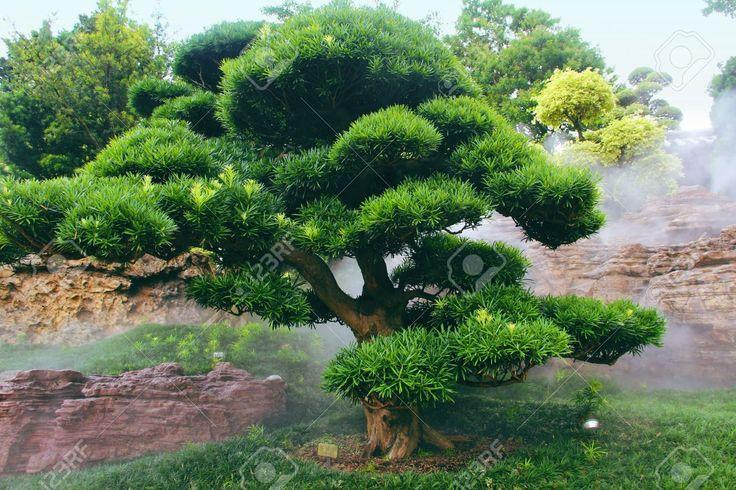 Buddhist Pine Podocarpus Macrophyllus Stock Photo, Picture And Royalty Free Image. Image 15291395.