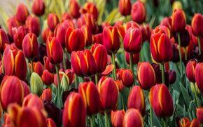 Обои красные, бутоны, тюльпаны