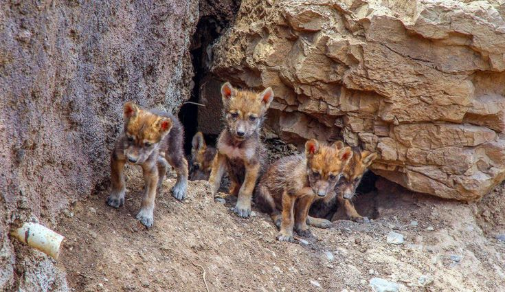 Kleine Wölfe (© Cortesía/NOTIMEX/dpa) - Diese seltenen Wolfswelpen leben in einer Höhle im Land Mexiko.