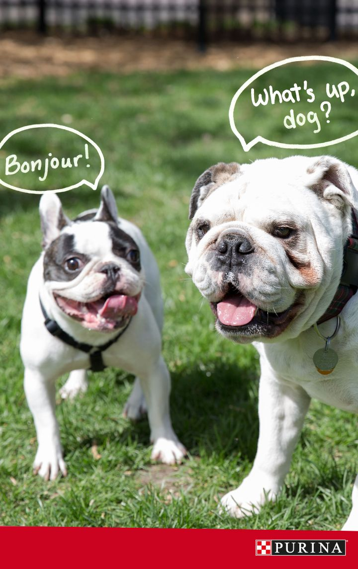 French Bulldog or not, this breed is known for it's friendly personality! Learn even more about this playful dog breed here.