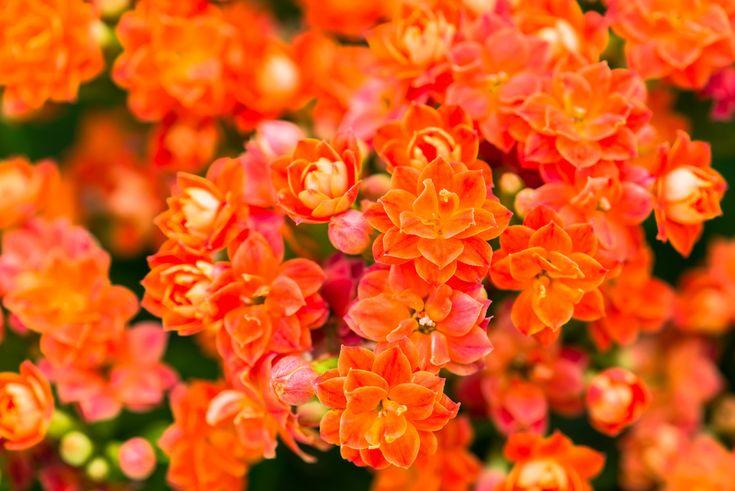 Les fleurs qui fleurissent toute l'année