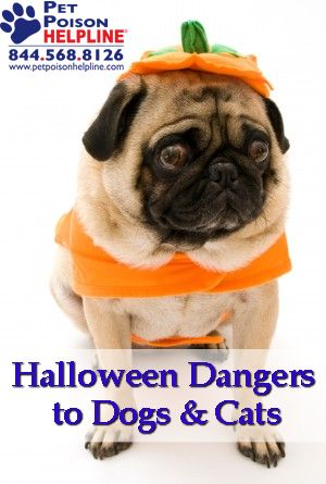 Halloween Dangers to Dogs & Cats: uring the week of Halloween, calls to the veterinarians at Pet Poison Helpline increase by 12 percent, making it the call center's busiest time of year.   #halloween #holidays #dogs #cats #candy  http://www.petpoisonhelpline.com/pet-owners/seasons/halloween/