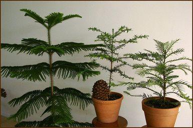 Norfolk Island Pine—Growing Norfolk Island Pine Indoors: Norfolk Island Pines make pretty indoor potted plants.