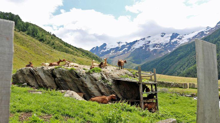 Auch das Bergvieh fühlt sich in der naturbelassenen Landschaft sichtlich wohl
