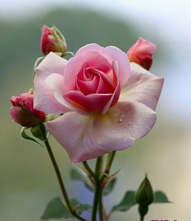 ورود رومانسية Beautiful Rose Flowers Beautiful Roses Fragrant Flowers