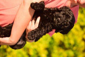 English Springer Spaniel-Poodle (Miniature) Mix puppy for sale in SUGARCREEK, OH. ADN-34543 on PuppyFinder.com Gender: Female. Age: 15 Weeks Old
